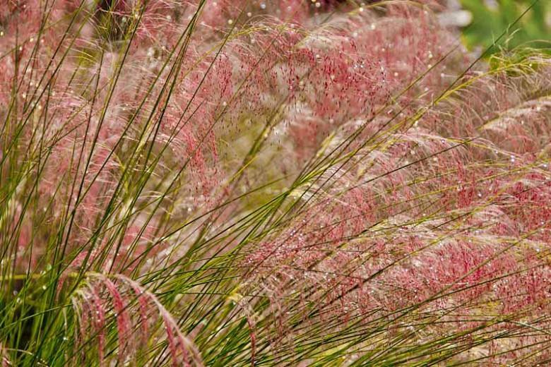 Muhlenbergia capillaris, Pink Muhly Grass, Gulf Muhly, Hair-Awn Muhly, Hairy-Awn Muhly, Hair Grass, Pink Muhly, Pink Grass, Ornamental Grasses, Grasses, decorative Grasses, Perennial Grasses