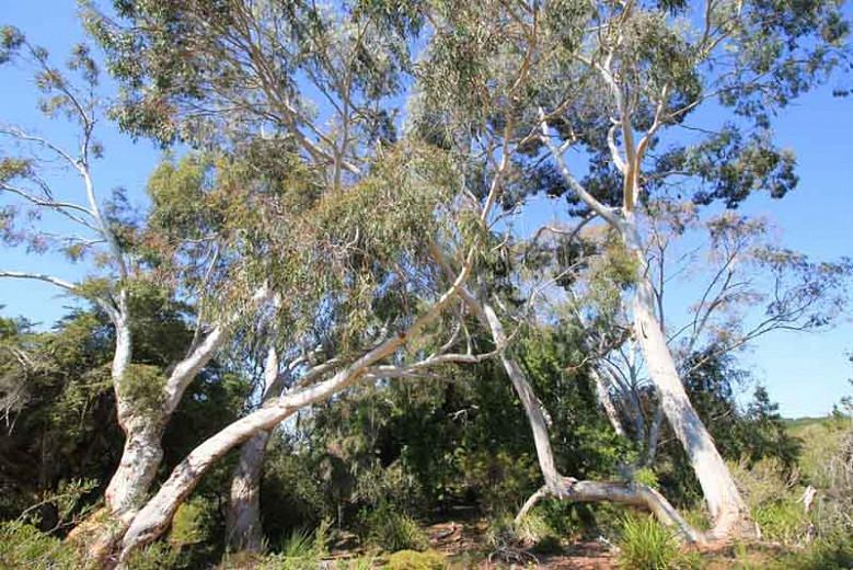 Eucalyptus Rubida Candlebark