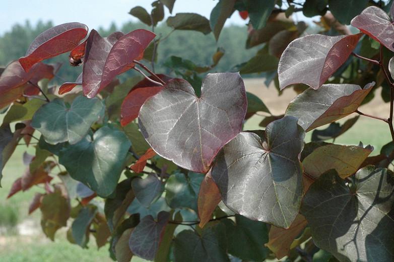 Cercis canadensis Merlot, Eastern Redbud Merlot, Shrub, Small Tree, Pink Flowers, dark foliage