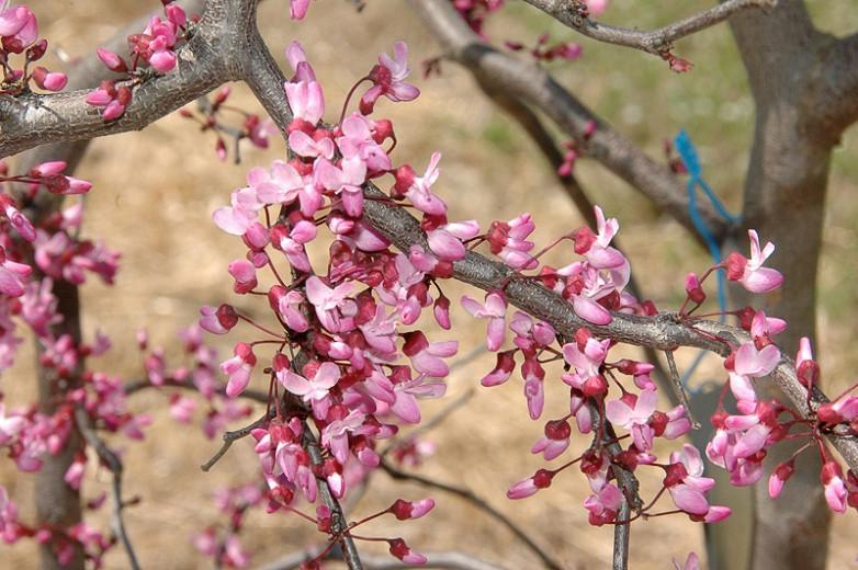 Cercis canadensis Ruby Falls,Redbud 'Ruby Falls', 'Ruby Falls' Weeping Redbud, Shrub, Small Tree, Pink Flowers, Weeping Cercis, Weeping tree, ornamental tree