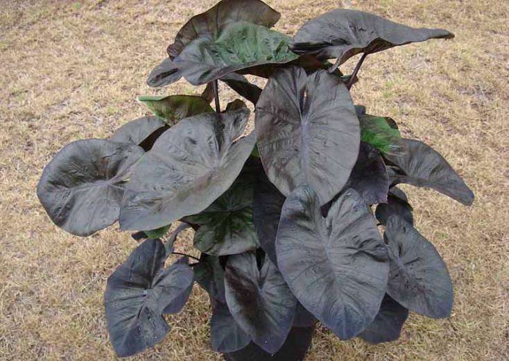 Colocasia esculenta 'Kona Coffee', Taro 'Kona Coffee', Elephant Ears 'Kona Coffee', dark leaves, evergreen perennial,