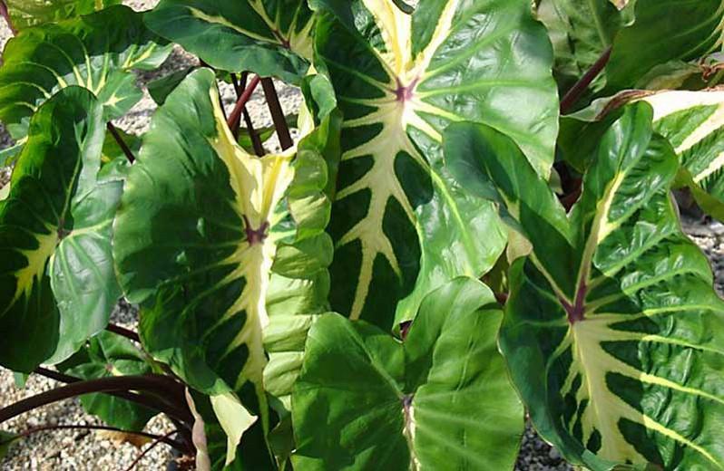 Colocasia Esculenta White Lava Taro