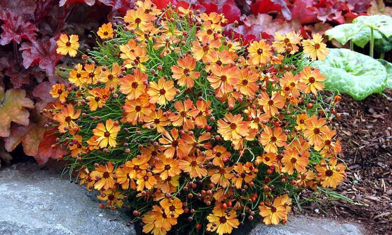 Coreopsis Mango Punch, Tickseed Mango Punch, Mango Punch Coreopsis, Mango Punch Tickseed, Drought tolerant plants, dry soil plants, heat tolerant plants, humidity tolerant plants, orange flowers