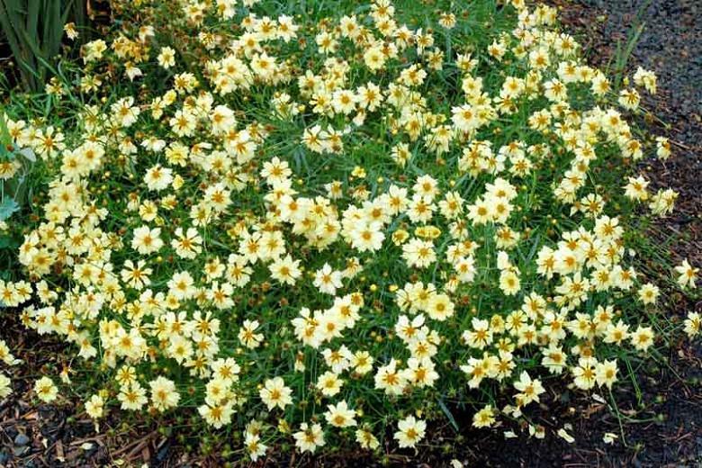 Coreopsis Moonlight, Tickseed Moonlight, Drought tolerant plants, dry soil plants, heat tolerant plants, humidity tolerant plants, yellow flowers