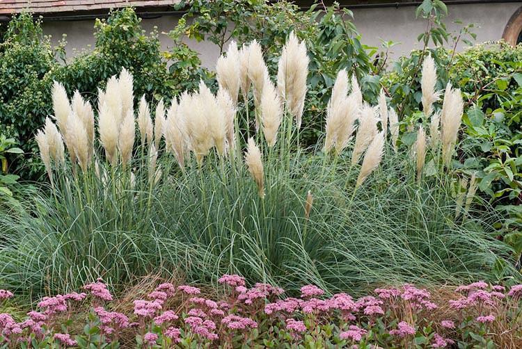 Cortaderia Selloana 'Pumila', Pampas Grass 'Pumila', Dwarf Pampas Grass