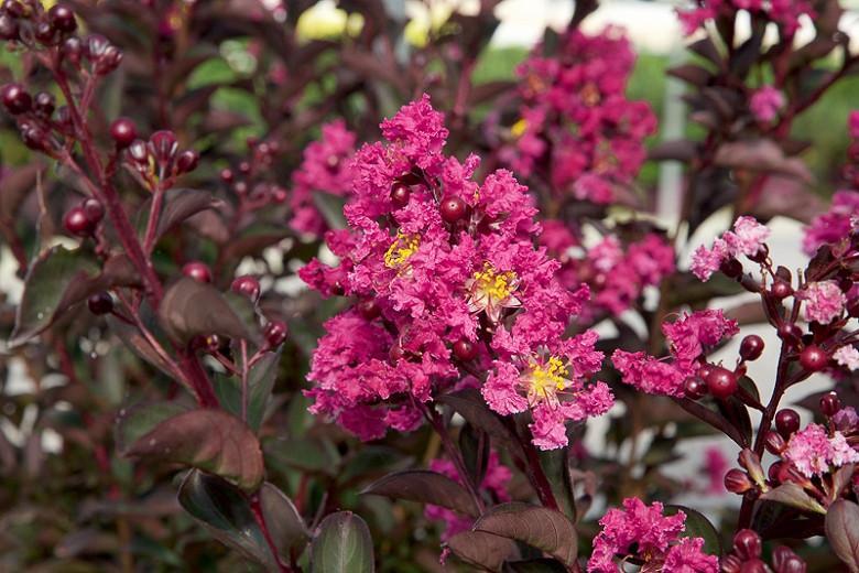 Lagerstroemia 'Delta Fusion', Crape Myrtle 'Delta Fusion', Crapemyrtle 'Delta Fusion', Shrub, Pink Flowers, Pink Crape Myrtle, Dark foliage
