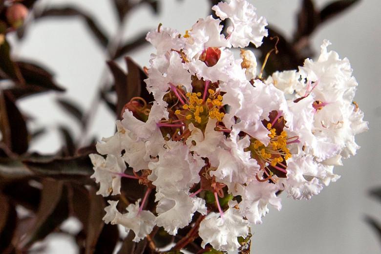 Lagerstroemia 'Delta Moonlight', Crape Myrtle 'Delta Moonlight', Crapemyrtle 'Delta Moonlight', Lagerstromia indica 'Delea', Shrub, White Flowers, White Crape Myrtle, Dark foliage