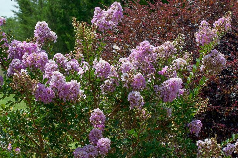 Lagerstroemia 'Early Bird Lavender', Crape Myrtle 'Early Bird Lavender', Crapemyrtle 'Early Bird Lavender', Lagerstroemia hybrid, Shrub, Lavender Flowers, Lavender Crape Myrtle