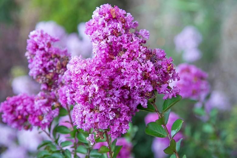 Lagerstroemia 'Early Bird Purple', Crape Myrtle 'Early Bird Purple', Crapemyrtle 'Early Bird Purple', Shrub, Purple Flowers, Purple Crape Myrtle