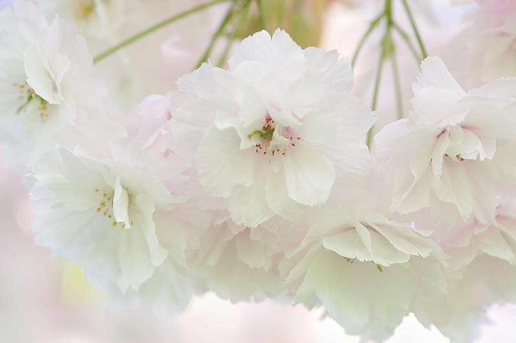 Prunus Shogetsu Japanese Flowering Cherry