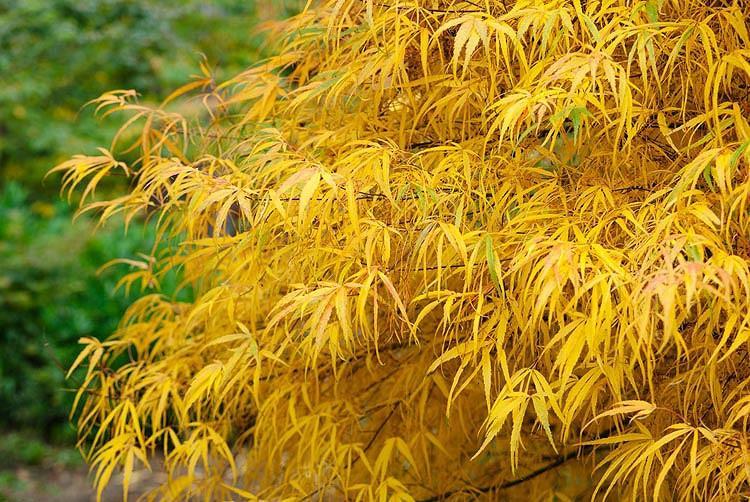 Acer palmatum 'Koto-no-ito', японски клен Koto-no-ito, дърво с цвят на есента, цвят на есента, жълти листа, жълт Acer, жълт японски клен, жълт клен, Acer palmatum f.  latilobatum