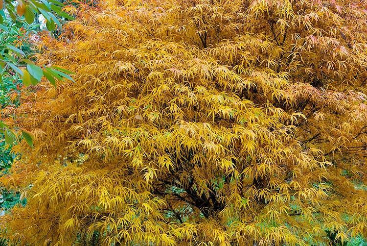 Acer palmatum Koto no ito