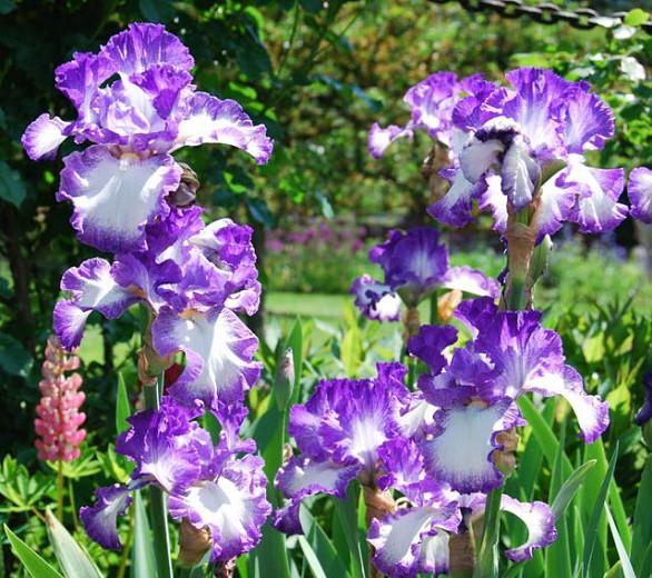 Iris Jesse's Song, Bearded iris Jesse's Song, Iris Germanica Jesse's Song, Reblooming irises, Purple irises, Award Irises