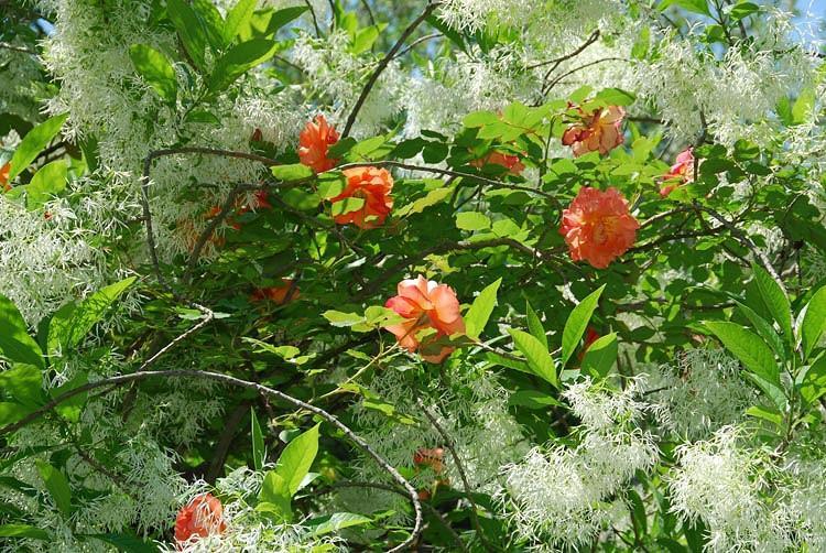 Chionanthus virginicus, Fringe Tree, Fragrant tree, White flowers, Fragrant flowers, berries, black berries
