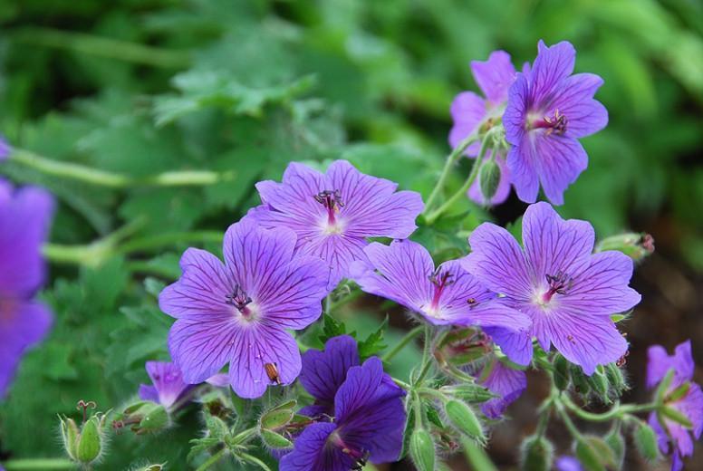 Geranium x Magnificum,Geranium Magnificum, Purple Cranesbill, Showy Cranesbill, Hardy Geranium, Blue Geranium, Purple Geranium