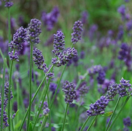 Lavandula x Intermedia Provence, Lavender 'Provence', Lavandin 'Provence', Fat Spike Lavender 'Provence' , Purple flowers, Drought tolerant plant, Summer blooms, Deer resistant plants, fragrant flowers