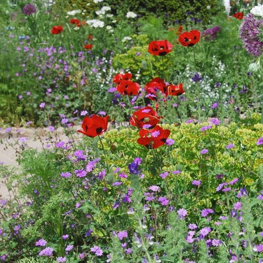 Papaver Commutatum 'Ladybird',Poppy 'Ladybird', Ladybug Poppy, 'Ladybird' Poppy, Red flowers
