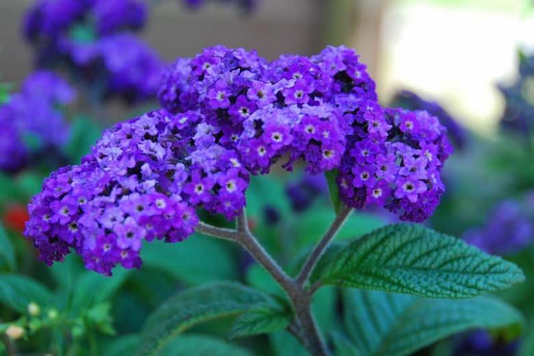 Heliotropium arborescens,Heliotrope, evergreen perennial, Blue flowers, Fragrant perennial, Fragrant Annual