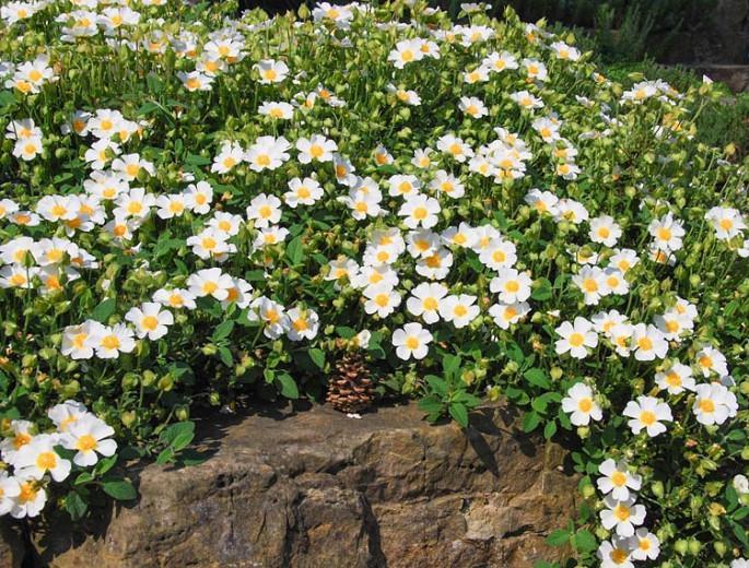 Cistus Salviifolius 'Prostratus', Sage-Leaved Rock-Rose 'Prostratus',Salvia Cistus 'Prostratus', Gallipoli Rose 'Prostratus', Mediterranean plants, Mediterranean shrubs, white flowers