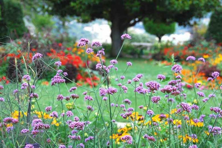 Verbena Bonariensis, Tall Verbena, Purpletop Vervain, Brazilian Verbena, Upright Verbena, Purple summer flowers, Drought Tolerant plant, purple flowers