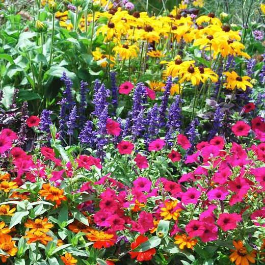 Salvia Farinacea Victoria Blue information, Victoria Blue Mealycup Sage information, Mealy cup sage Victoria Blue information, Salvia Farinacea Victoria, Salvia Victoria