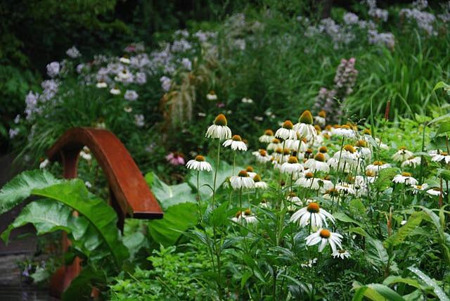 Echinacea Purpurea 'White Swan', Coneflower 'White Swan', Echinacea 'White Swan', White Coneflower, White Echinacea, Echinacea Purpurea