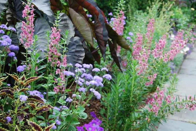 Colocasia esculenta 'Diamond Head', Taro 'Diamond Head', Elephant Ears 'Diamond Head', dark leaves, evergreen perennial,