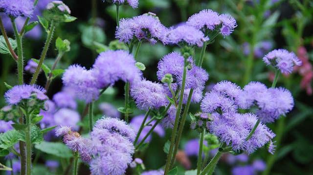 Floss Flower 'Blue Horizon', Ageratum Houstonianum 'Blue Horizon', Ageratum Blue Horizon, Blue flowers, Blue annuals