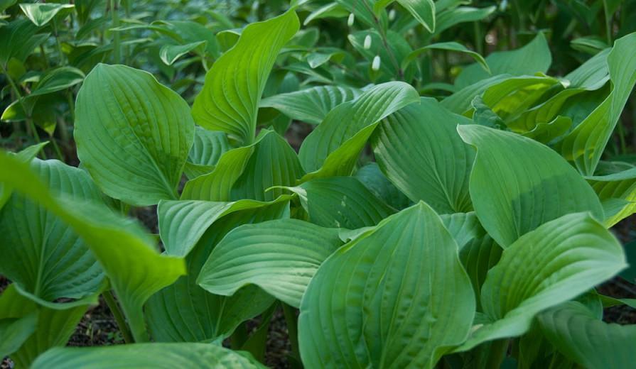 Hosta 'Royal Standard', Plantain Lily 'Royal Standard', 'Royal Standard' Hosta, Hosta 'Wayside Perfection', Shade perennials, Plants for shade