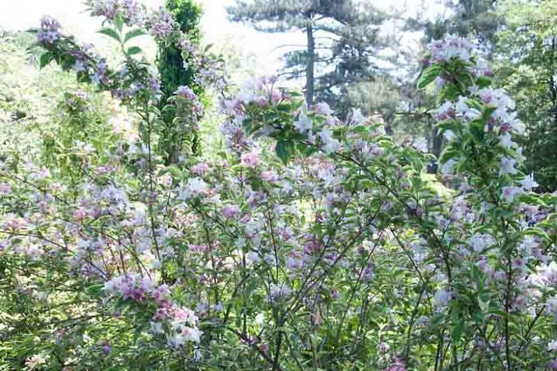 Weigela 'Florida Variegata', Weigela florida 'Aureovariegata', Weigela florida 'Variegata', Weigela florida 'Variegata Aurea', Flowering Shrub, Pink Flowers, Variegated foliage