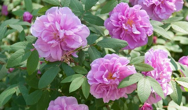 Rosa Rugosa, Rugosa Rose, Japanese Rose, Ramanas Rose, Wild Roses, Rugosa Hybrids, Shrub roses, pink roses, Hardy roses