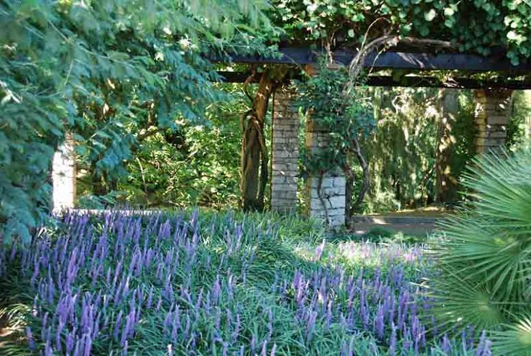 Liriope Muscari, Lily Turf, Blue Lily Turf, Monkey Grass, Big blue Lilyturf, Liriope platyphylla, Ophiopogon graminifolius, AGM Perennial, Purple flowers, Evergreen perennial