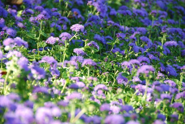 Floss Flower, Ageratum Houstonianum, Ageratum Blue Horizon, Ageratum Blue Danube