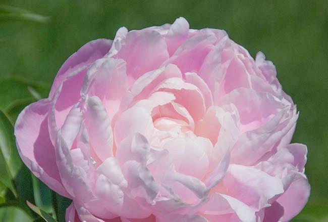 Paeonia Lactiflora 'Mrs. Franklin D. Roosevelt', Peony 'Mrs. Franklin D. Roosevelt', 'Mrs. Franklin D. Roosevelt' Peony, White flowers, White Peonies, Pink Flowers, Pink Peonies, Fragrant Peonies