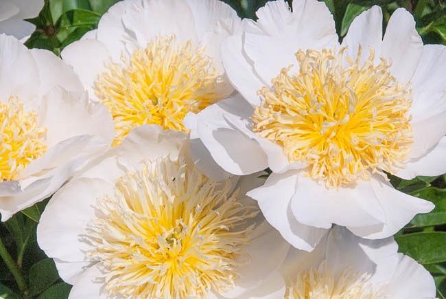 Paeonia Lactiflora 'Cheddar Charm', Peony 'Cheddar Charm', 'Cheddar Charm' Peony, Chinese Peony 'Cheddar Charm', Common Garden Peony 'Cheddar Charm', White Peonies, White flowers, Pink Peonies, Pink flowers, Fr