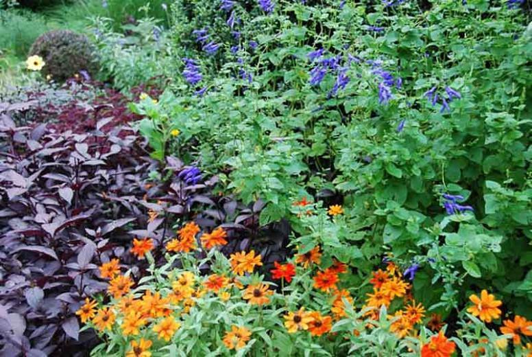 Salvia guaranitica 'Black and Blue', Anise-Scented Sage 'Black and Blue', Blue Anise Sage 'Black and Blue', Brazilian Anise Sage  'Black and Blue', Blue Sage, Blue Salvia