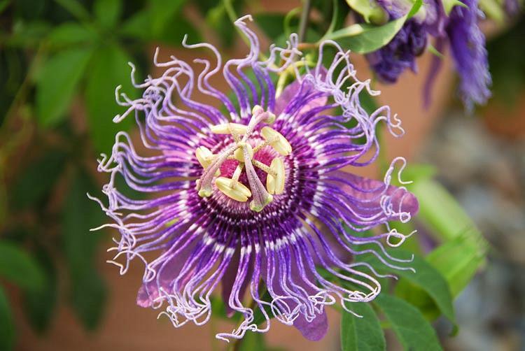 Passiflora Incarnata, Wild Passion Flower, Apricot Vine, Purple Passionflower, Purple Passion Vine, Maypop, Blue Vines, Mediterranean Vines, Blue Flowers, Evergreen Vines