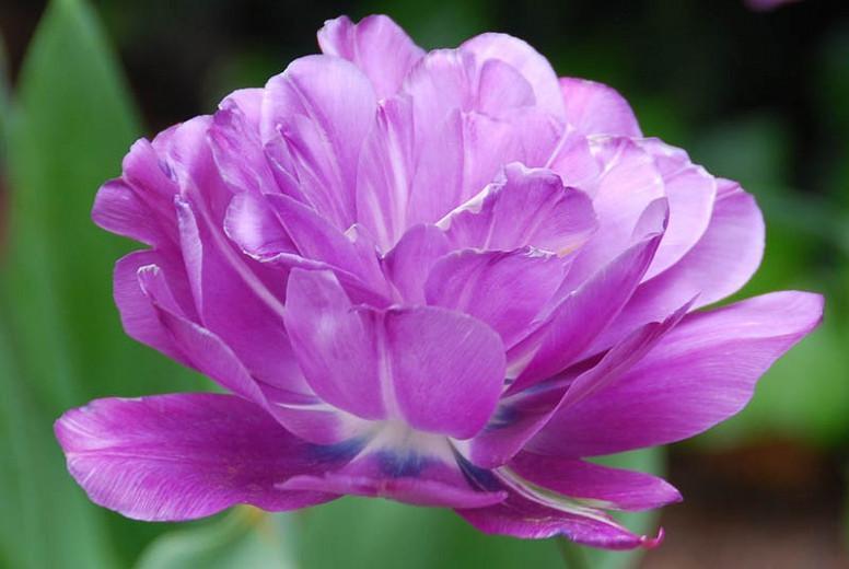Tulipa Blue Spectacle,Tulip 'Blue Spectacle', Double Late Tulip 'Blue Spectacle', Double Late Tulips, Spring Bulbs, Spring Flowers, Tulipe Blue Spectacle, Purple Tulips, Late spring tulips, Tulipes Doubles Tardives