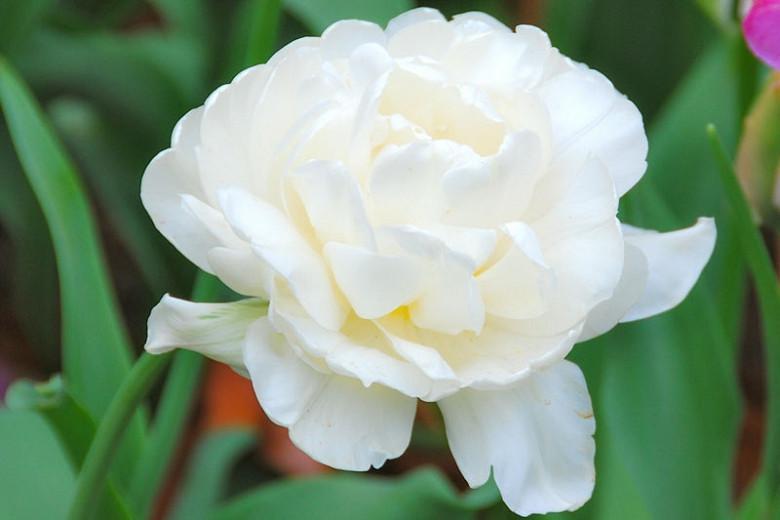 Tulipa 'Mount Tacoma', Tulip 'Mount Tacoma', Double Late Tulip 'Mount Tacoma', Double Late Tulips, Spring Bulbs, Spring Flowers, Ivory Tulip, Creamy Tulip, White Tulip
