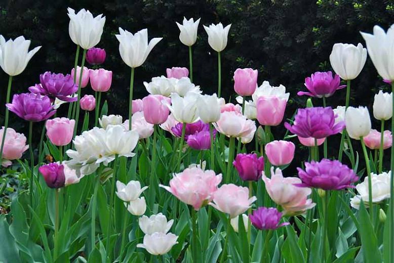 Tulipa White Triumphator, Tulip 'White Triumphator', Lily-Flowered Tulip 'White Triumphator', Lily-Flowering Tulip 'White Triumphator', Lily-Flowered Tulips, Spring Bulbs, Spring Flowers, Tulipe White Triumphator, white tulips, white lily-flowered tulips