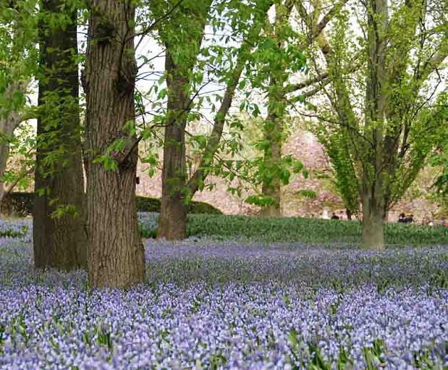 Hyacinthoides Hispanica 'Excelsior', Spanish Bluebells 'Excelsior', Wood Hyacinth 'Excelsior', Scilla hispanica 'Excelsior', Scilla Campanulata 'Excelsior', Endymion Hispanicus 'Excelsior', Blue Flowers
