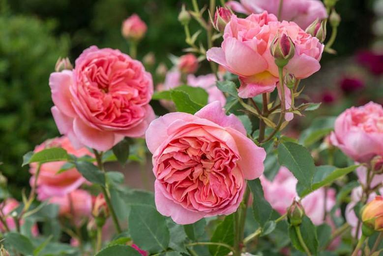 Rose Boscobel, Rosa Boscobel, English Rose Boscobel, David Austin Roses, English Roses, Rose Bushes, Orange roses, climbing roses, shrub roses, very fragrant roses, Garden Roses