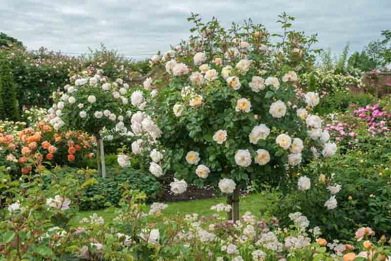 Rosa Crocus Rose, Rose Crocus Rose, Rosa 'Emanuel', Rosa 'City of Timaru', Rosa 'Ausquest', Shrub Roses, David Austin Roses, Cream Roses