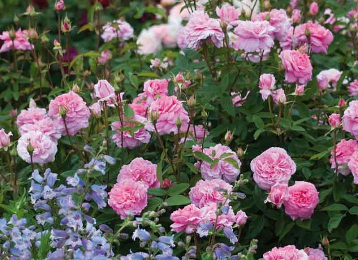 Rose The Mayflower, Rosa The Mayflower, English Rose The Mayflower, David Austin Roses, English Roses, Rose Bushes, very fragrant roses, Garden Roses, Pink Roses