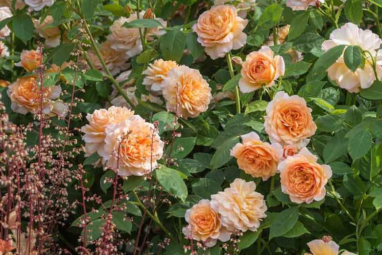 Rosa Grace, Rosa Grace, English Rose Grace, David Austin Rose, English Rose, Fragrant roses, Shrub roses, orange roses