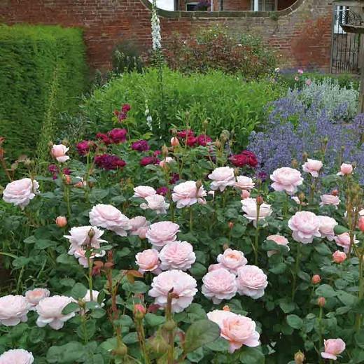 Rose Queen of Sweden, Rosa Queen of Sweden, English Rose Queen of Sweden, David Austin Roses, English Roses, English Rose, Shrub roses, Rose Bushes, Garden Roses, pink roses