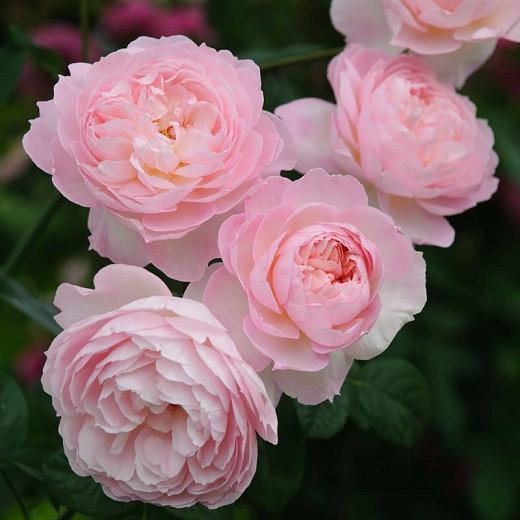 Rosa 'Gentle Hermione', English Rose 'Gentle Hermione', David Austin Roses, English Roses, Shrub Roses