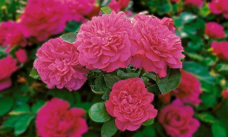Rose Sophy's Rose, Rosa Sophy's Rose, English Rose Sophy's Rose, David Austin Roses, English Roses, Rose Bushes, Red roses, climbing roses, shrub roses, fragrant roses, Garden Roses