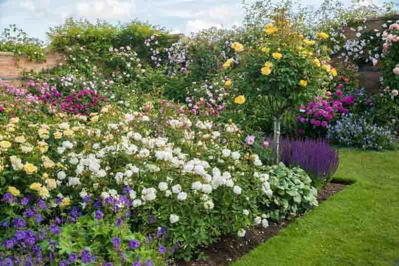 Rose Molineux, Rosa Molineux, English Rose Molineux, David Austin Roses, English Roses, Yellow roses, shrub roses, Rose Bushes, Garden Roses, very fragrant roses, Favorite roses