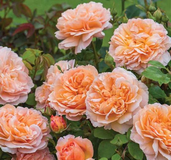 Rosa The Lady Gardener English Rose